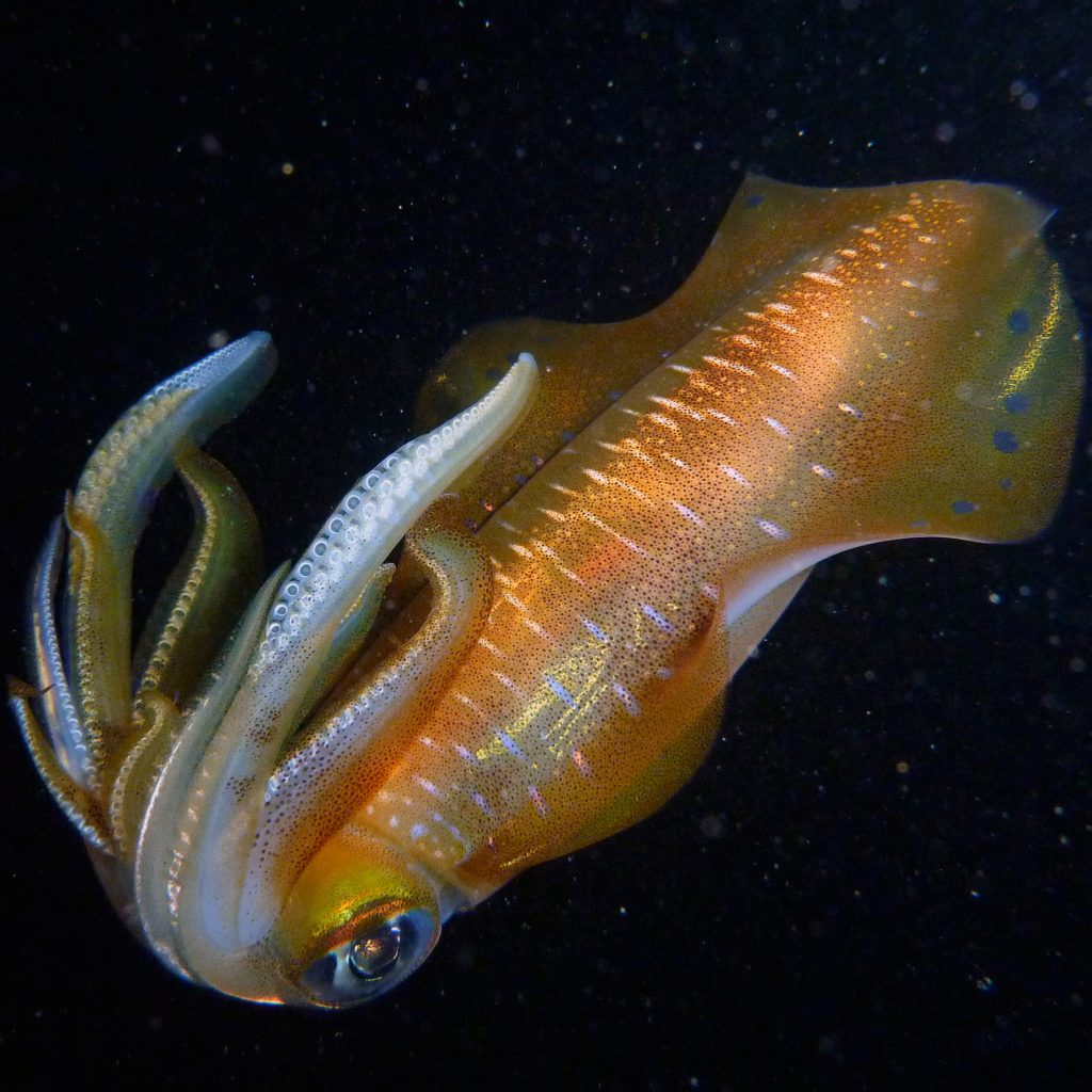 dive trips night dive squid