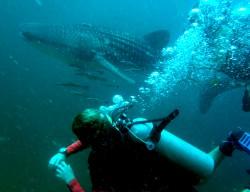 Whaleshark Phi Phi Island