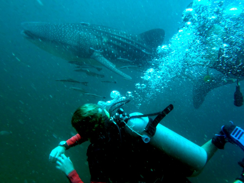Whaleshark Spotted!  1st May 2014