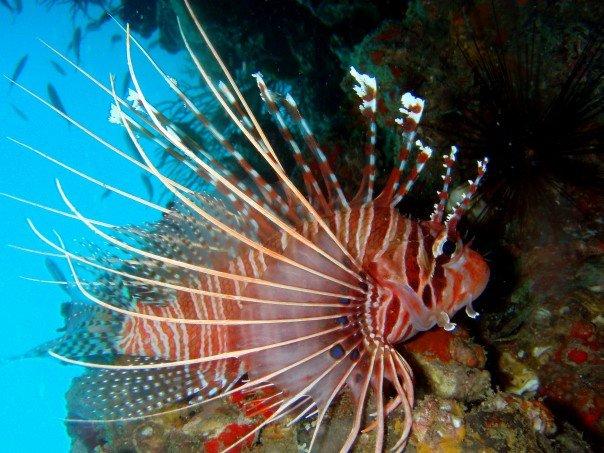 Lionfish Phi Phi Thailand