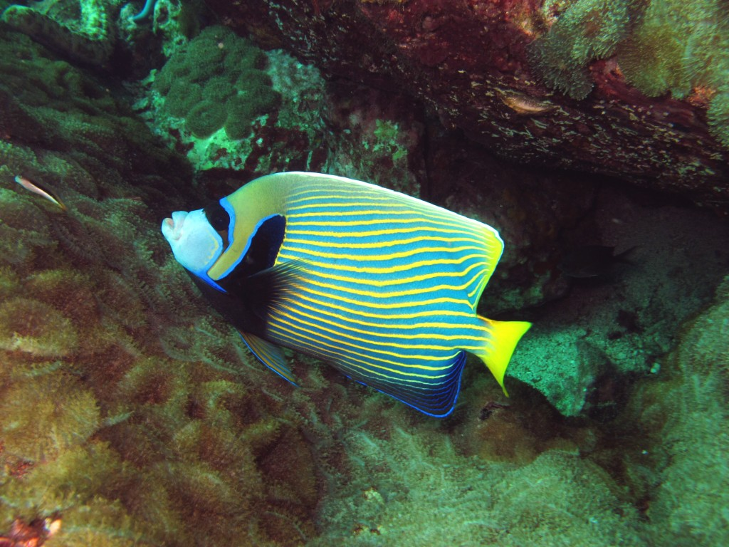 Discover scuba diving, Emperor Angel Fish Diving Koh Phi Phi Thailand