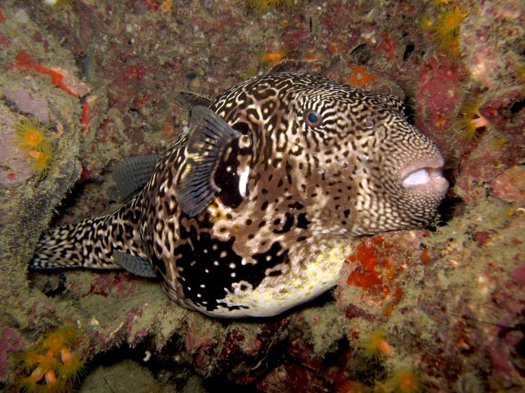 Giant puffer fish Diving SCUBA REFRESHER Koh Phi Phi Thailand