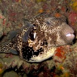 Giant puffer fish Diving SCUBA REFRESHER Koh Phi Phi Thailand