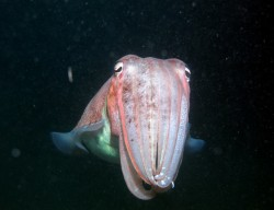 Broadclub Cuttlefish Koh Phi Phi Thailand canyon rock