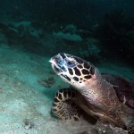 Hawksbill Turtle Sitting Koh Phi Phi Thailand