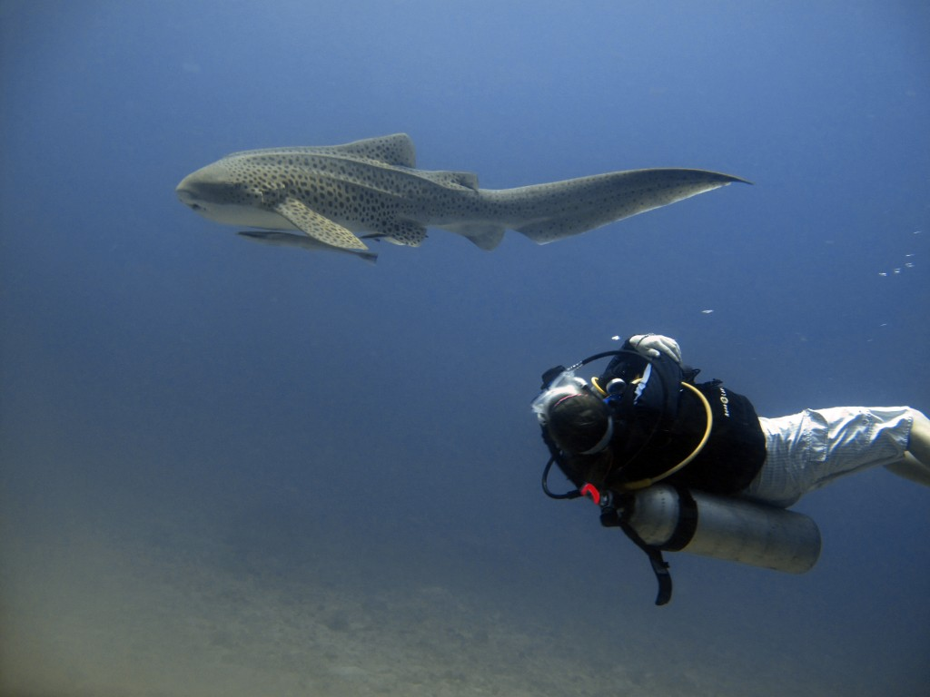 SCUBA diver leopard shark phi phi island thailand