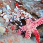 Harlequin Shrimp Koh Phi Phi Thailand