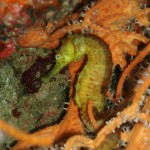 Yellow Seahorse Phi Phi Island Thailand