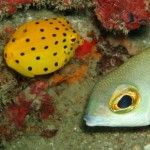 Yellow Boxfish diving phi phi thailand