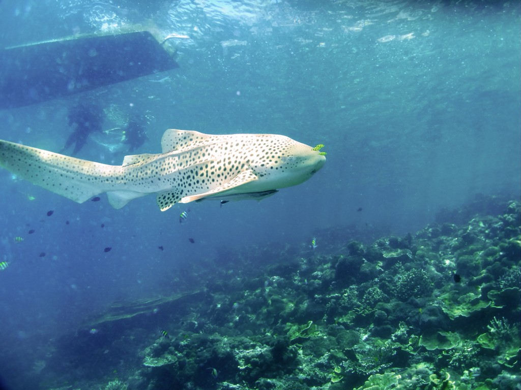 Leopard Shark Swimming Koh Phi Phi Thailand