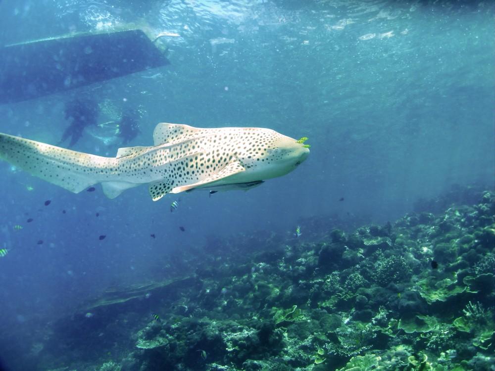 Leopard Shark!