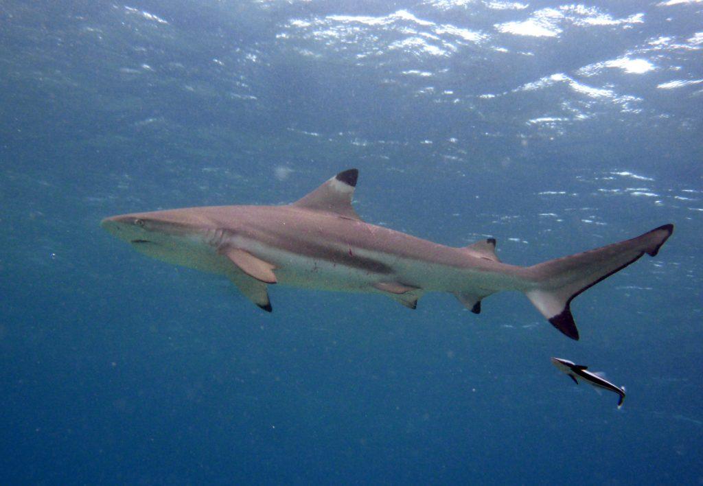 black tip reef shark snorkelling diving ko phi phi