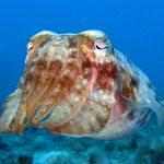 cuttlefish dive trips diving ko phi phi
