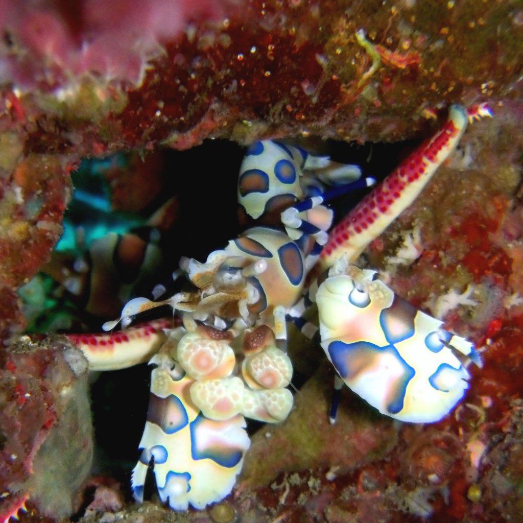 Harlequin Shrimp Dive Trips Multi Day Koh Phi Phi