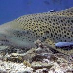 Leopard Shark Dive Trips Ko Phi Phi Thailand