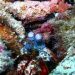 Peacock Mantis Shrimp Dive Trips Koh Phi Phi Thailand Diving