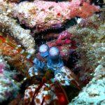 Peacock Mantis Shrimp Dive Trips Koh Phi Phi Thailand Diving