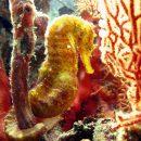 Dive trips phi phi tigertail seahorse