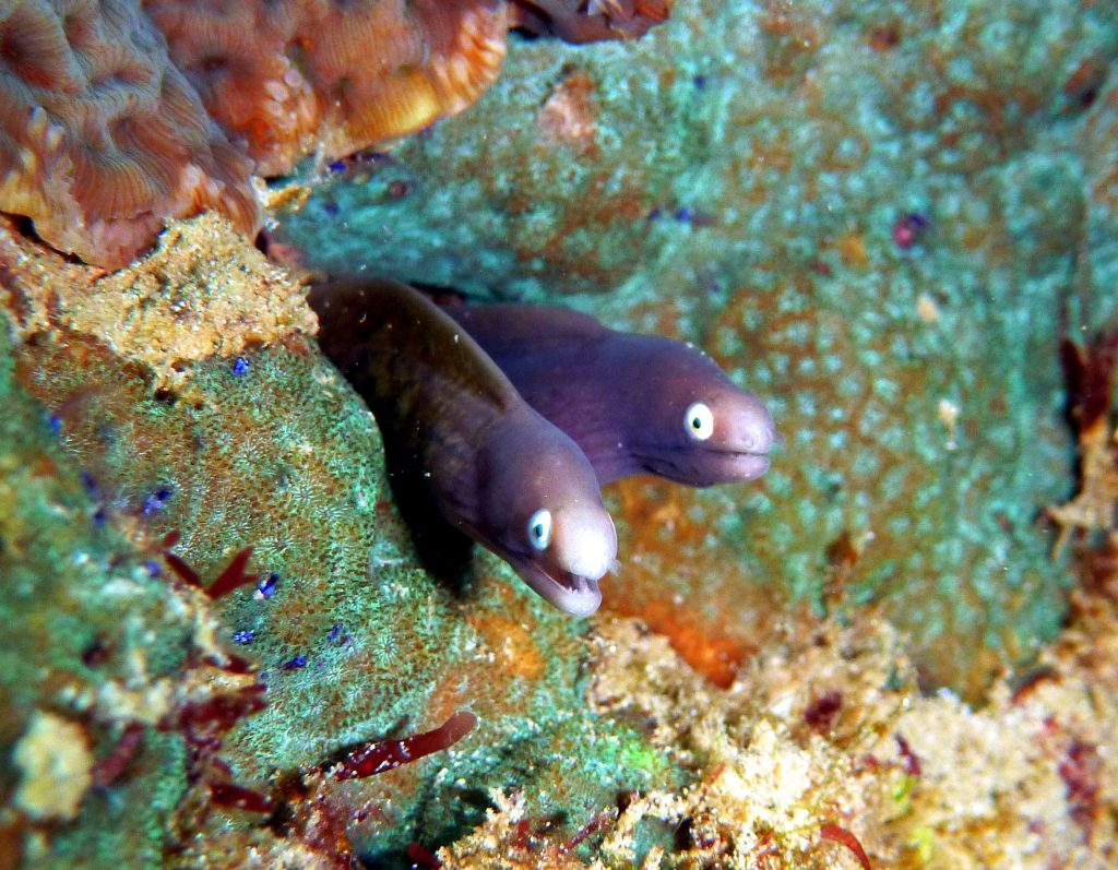 white eyed Moray dive trips phi phi