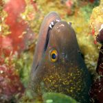 Yellow edge moray dive trips phi pih