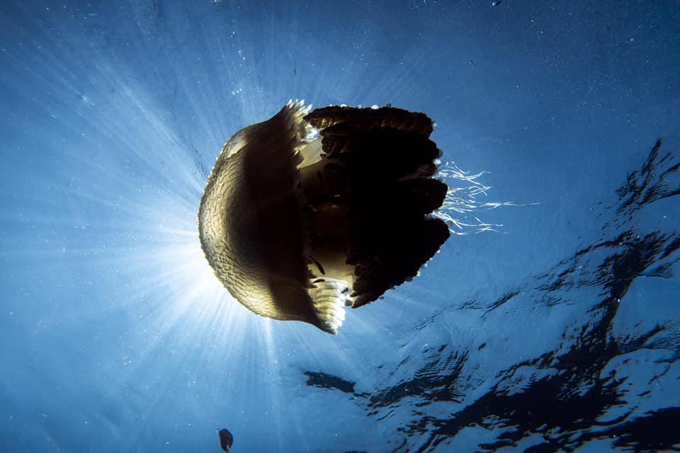 fish PADI specialty diving koh phi phi thailand jellyfish