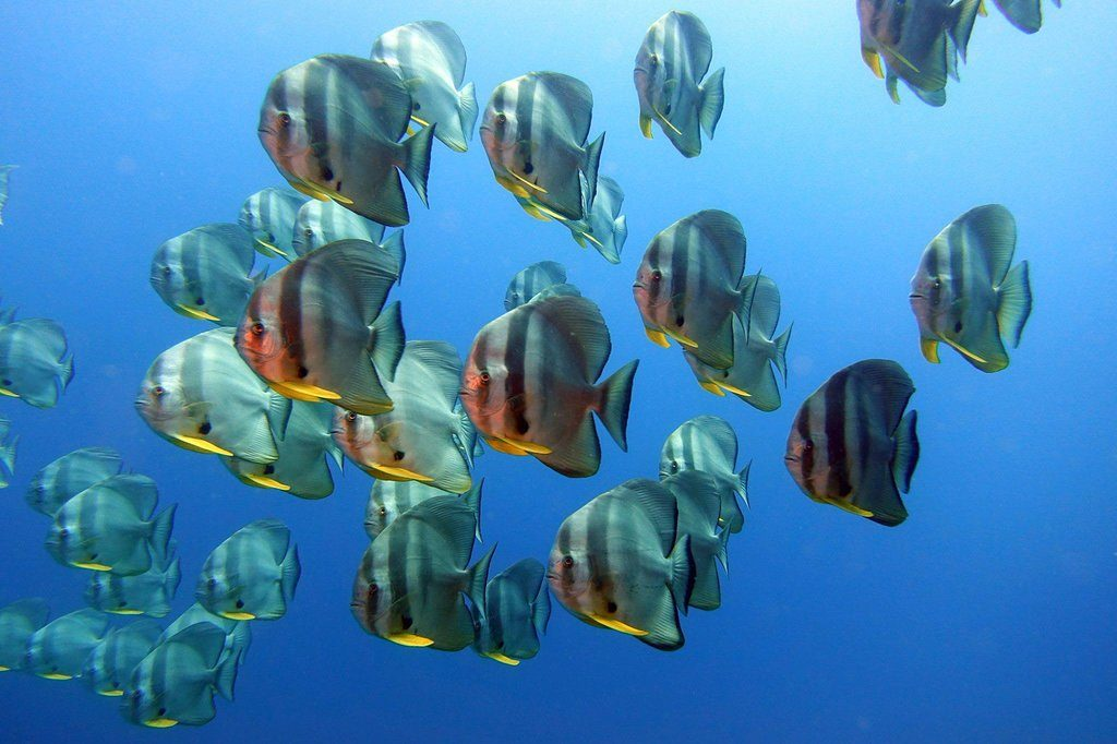 batfish, marine park phi pih