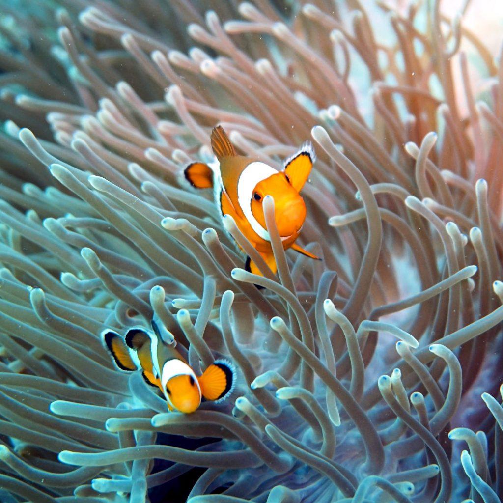 nemo clownfish diving phi phi island thailand